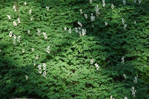 Dicentra cucullaria, Dutchman's Breeches