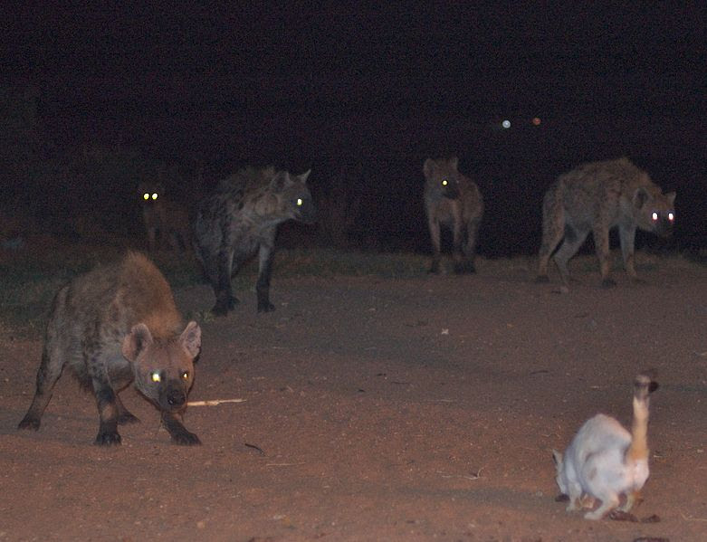 File:An Evening With The Hyena Man (2203295676).jpg