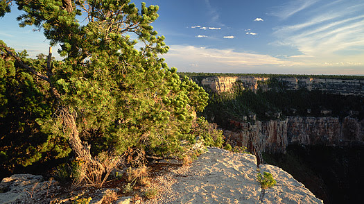 A piñon pine grows on the rim of the Grand Canyon