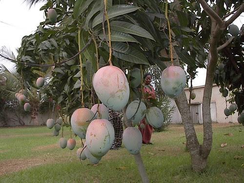 Mangoes in Auntie Akwele Garden