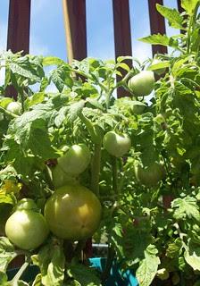 Tomatoes_63012