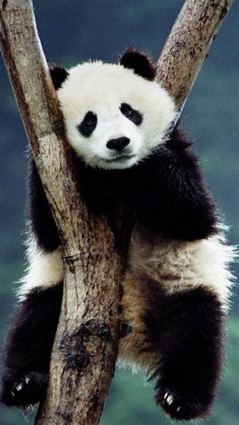 Download Panda Cute Wallpaper Android Full Size   2018