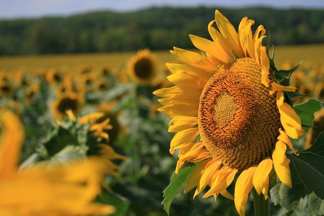 Sunflower Field In North Georgia Flickr Photo Sharing