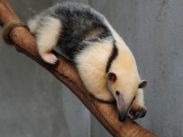 A tamanduá-mirim Babalu sobre um galho, no zoológico de Brasília (Foto: Renato Araújo/Agência Brasília)