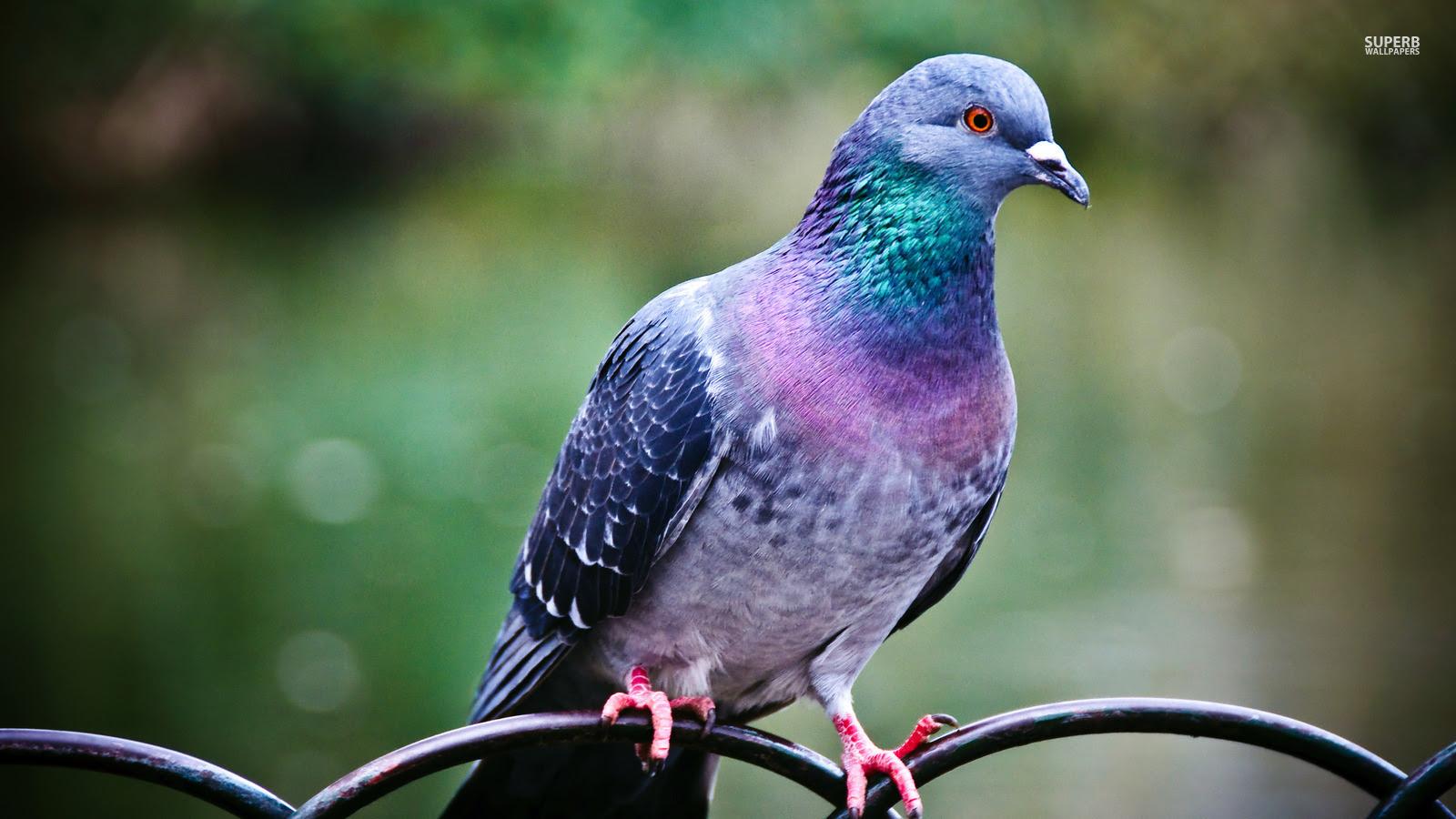 Download 100  Gambar Burung Merpati Membawa Surat  Paling Bagus Gratis