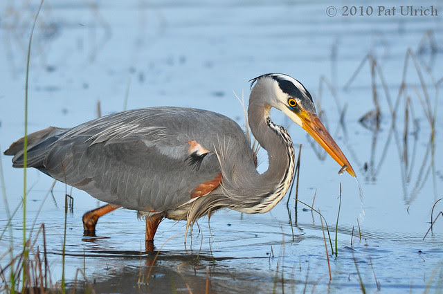 Heron with prize