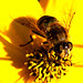 Syrphidae på Coreopsis Grandiflora