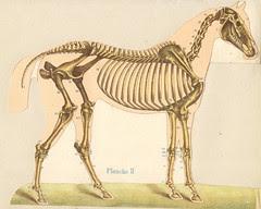 anato cheval 2