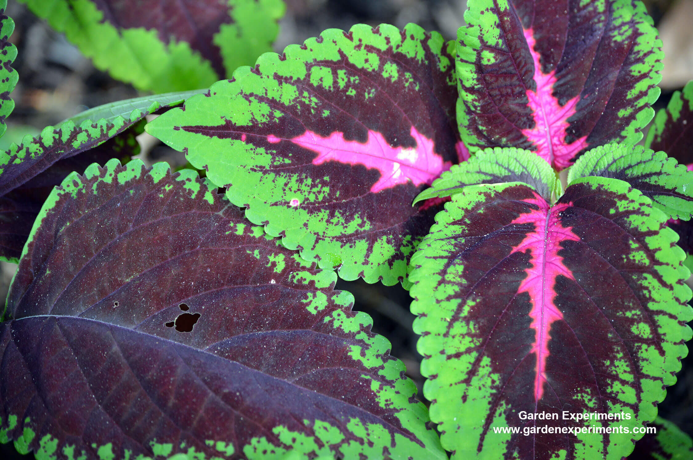 10 Plants For Shade Gardens Plants Grown For Flowers Leaf Colors And As Ground Cover