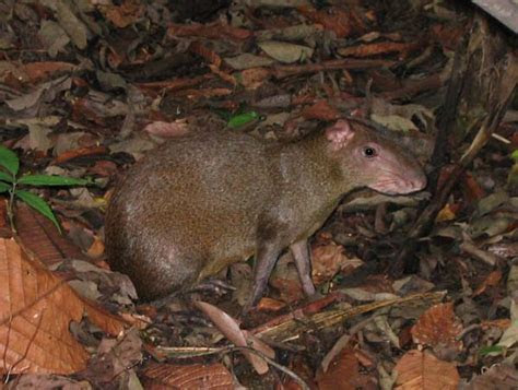 Central American Agouti   Dasyprocta punctata and Paca