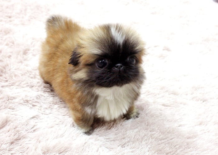 Buy Pekingese Puppies For Sale In Connecticut USA