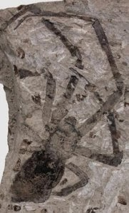 Largest Fossil Spider Found in Volcanic Ash - Yahoo! News