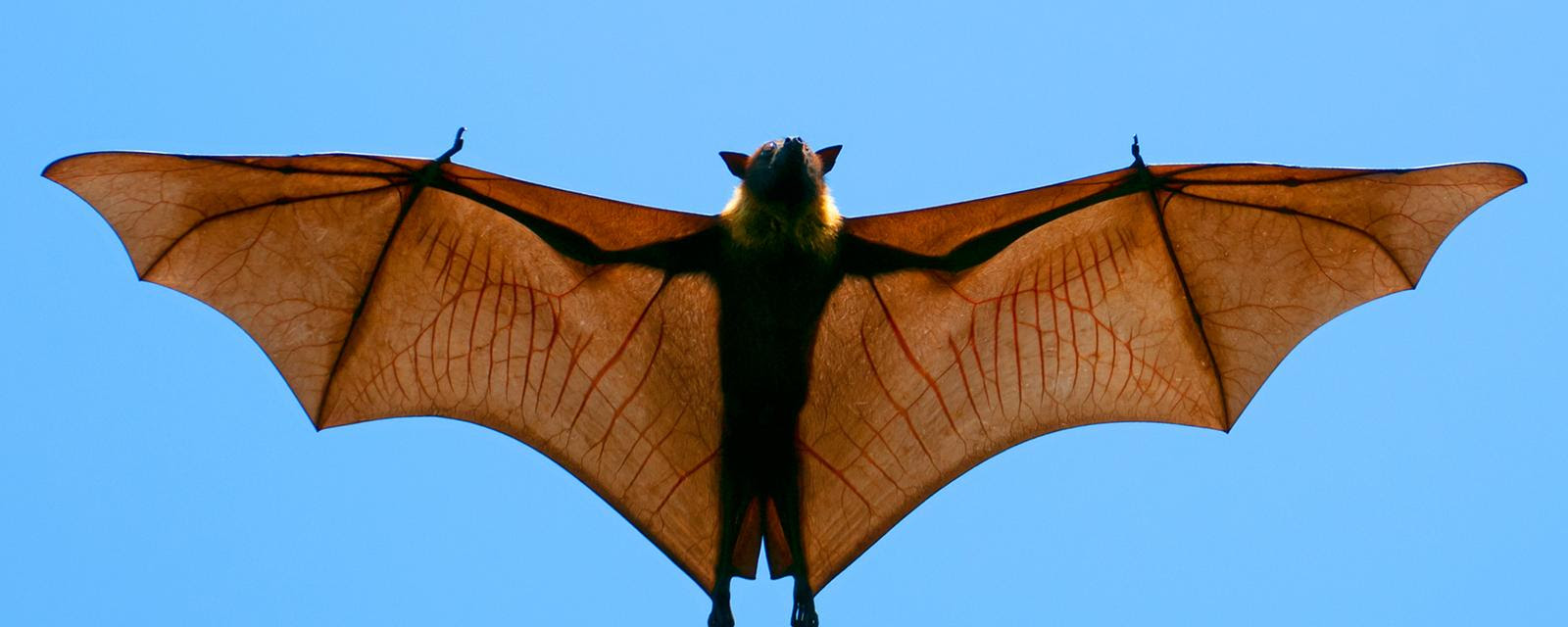 An Indian flying fox (Pteropus giganteus) in mid-air (Credit: Axel Gomille/NPL)
