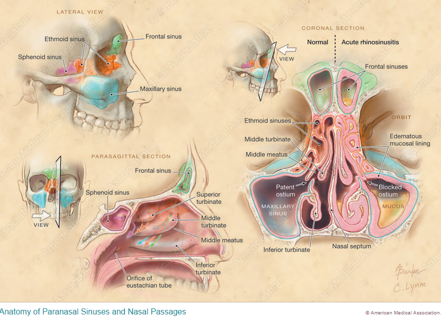 Anatomy Works from Certified Medical Illustrator Alison ...