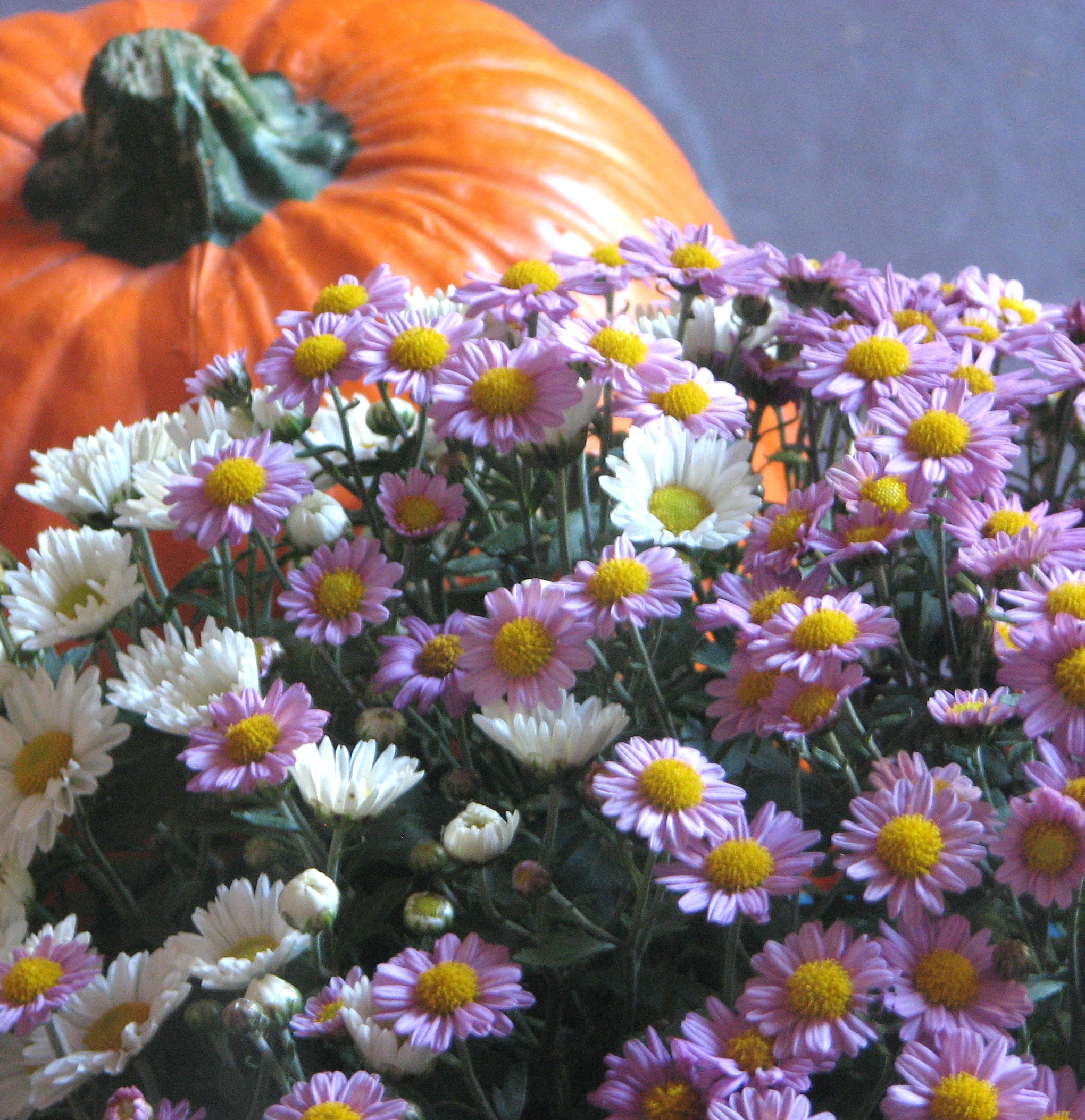 Pumpkin and Mums