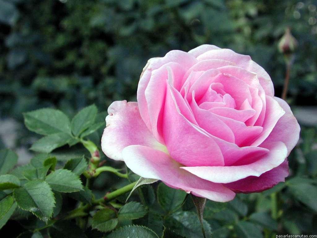 El Hombre Que Cultiva Rosas De Todos Los Colores Posibles Ceer