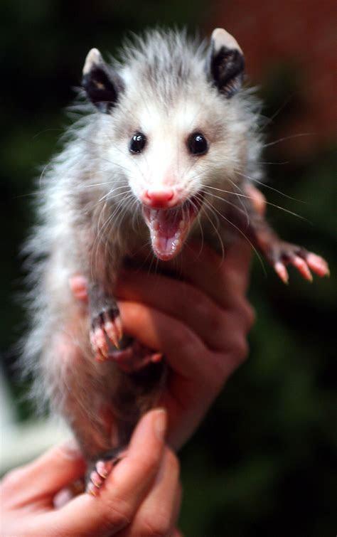 File:Baby opossum   Wikipedia
