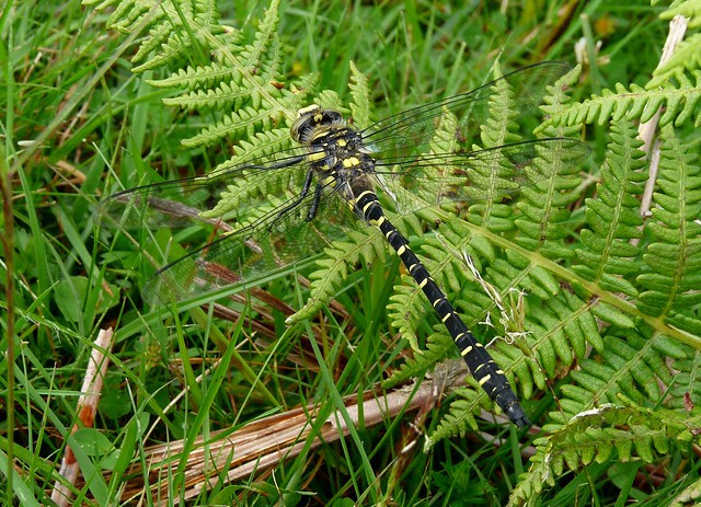24559 - Golden-ringed Dragonfly, Isle of Mull
