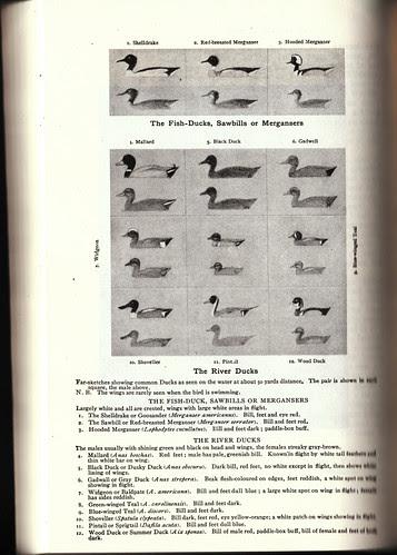 Seton Ducks