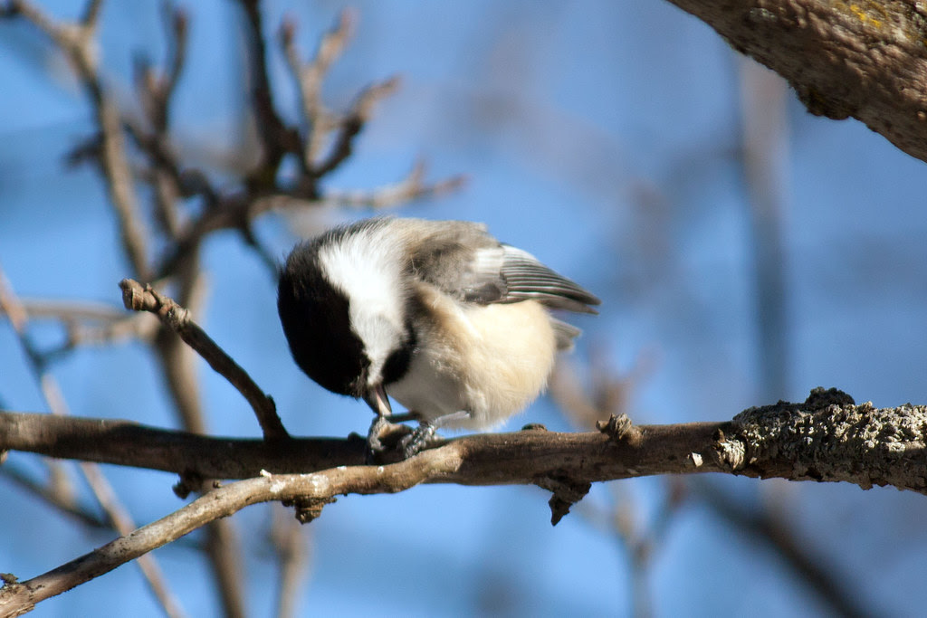 Black-capped-chickadee-5.jpg