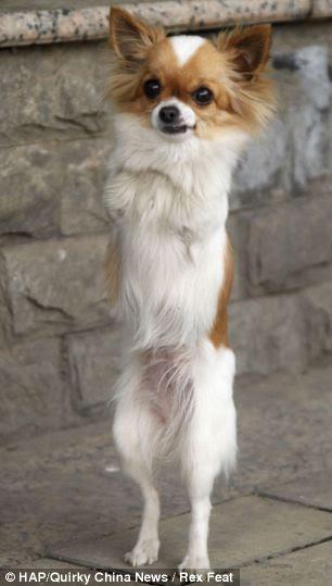 Dian Dian το σκυλάκι που περπατάει στα δυο του πόδια