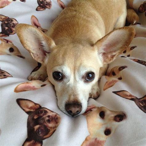Chigi (Corgi Chihuahua mix) Facts, Temperament, Training, Puppies, Pictures