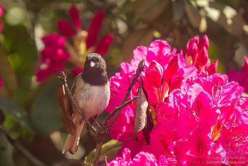 Junco on Blooming Rhododendron