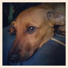 Little man Boo #fosterdog #foster #adoptdontshop #rescue #puppy #dogs #instadog #petstagram #dogstagram