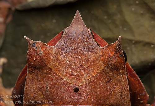 Megophrys nasuta IMG_6120 stk copy