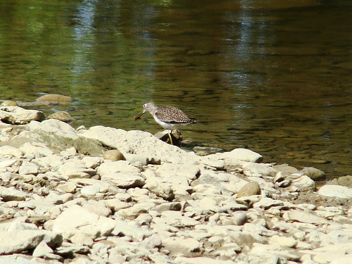 solitary sandpiper eating a fish