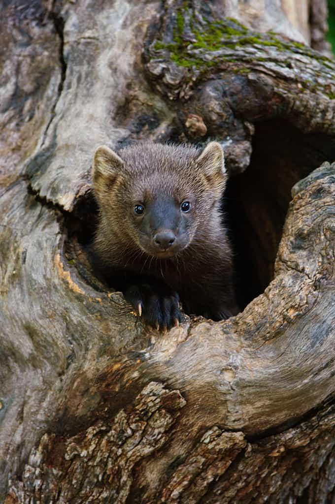 Wildlife Photography - Fisher Cat Images | Jeff Wendorff's ...
