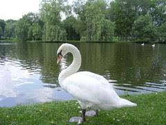 stratford swans 058