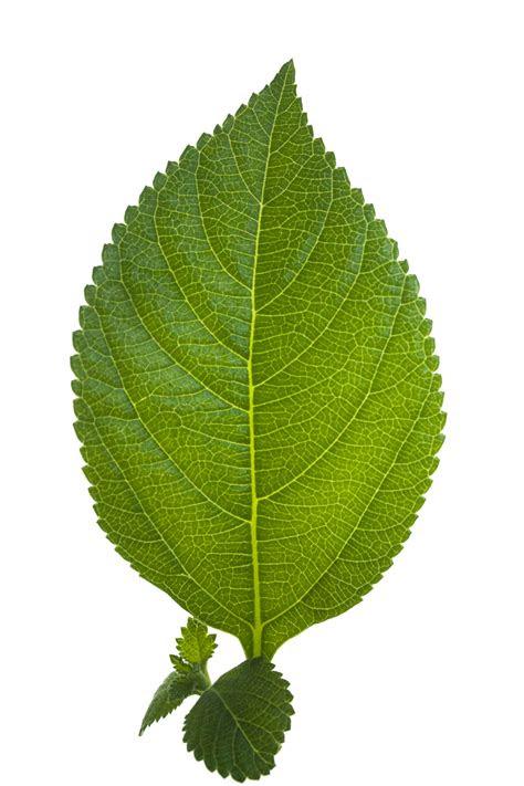 leaf hd hq png image freepngimg