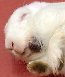 Rabbit: Black hard rocky lump on left jaw