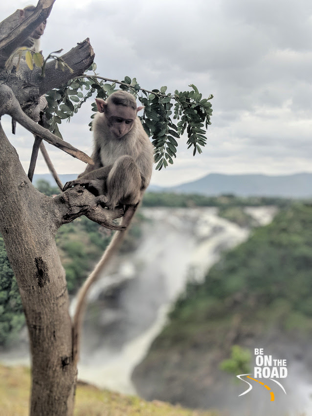 Lost in deep thought - Bonnet macaque at Gaganachukki Falls view point