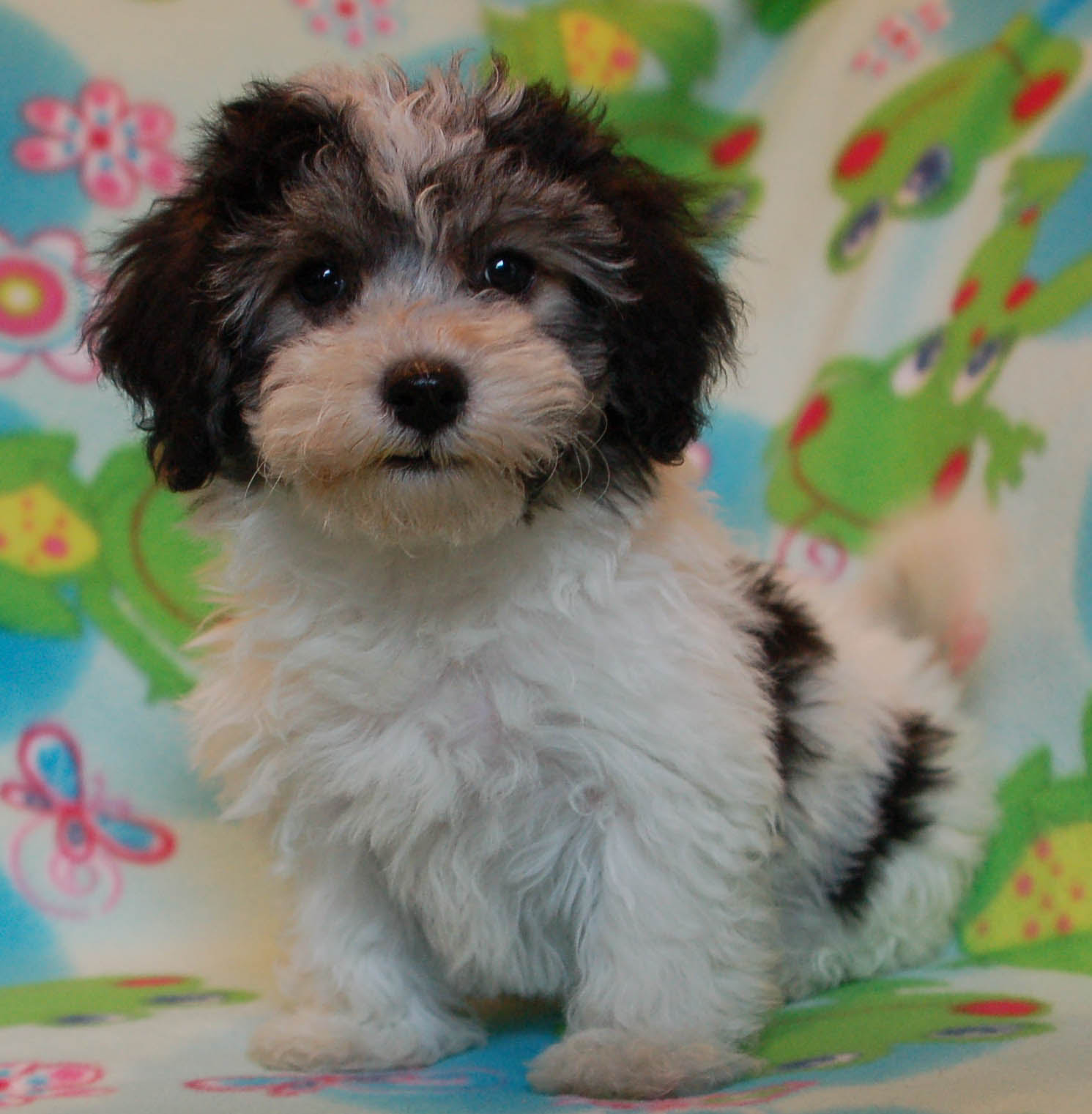 Royal Flush Havanese Reviews Tips On Safe Driving With Dogs.
