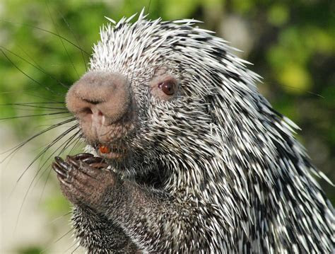 14 Porcupines That Prove Beauty Is Pain