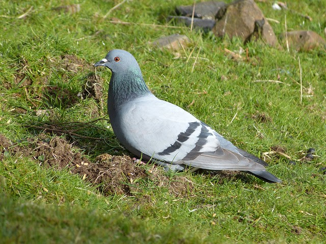 27099 - Rock Dove, Isle of Mull