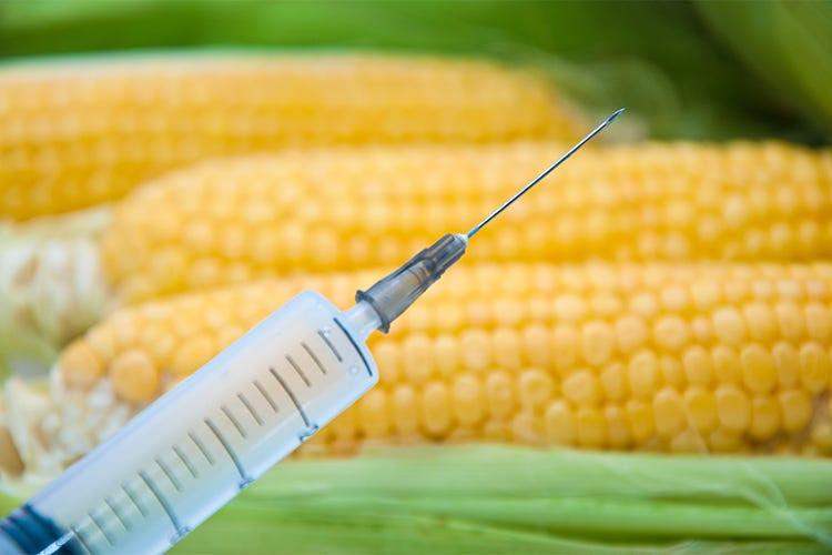 Risultati immagini per mais OGM...