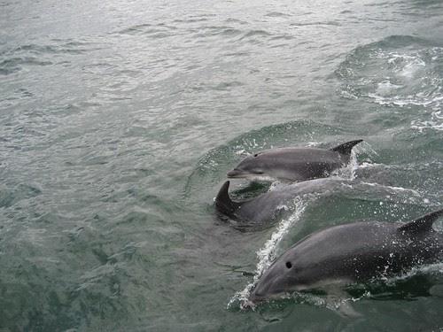 BOI dolphins