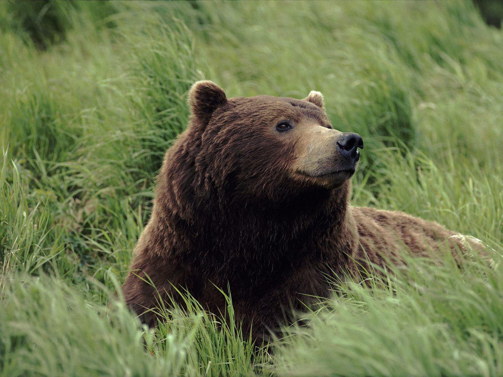くま クマ 壁紙 Bears 壁紙 31446780 ファンポップ