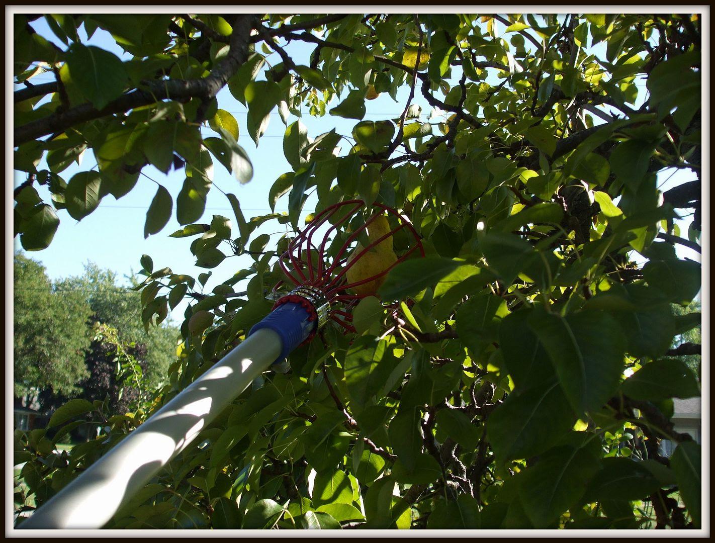 Lacrosse Fruit Picker by Angie Ouellette-Tower for godsgrowinggarden.com photo DSCF0752_zps96851705.jpg