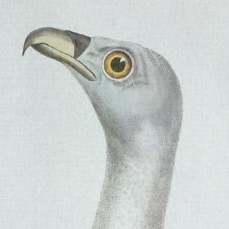 buzzard head