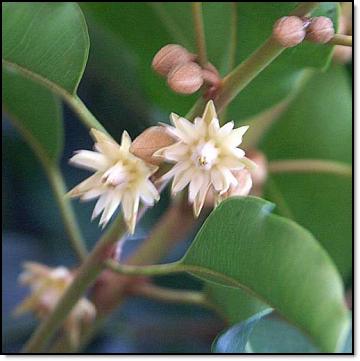 Mimusops flowers