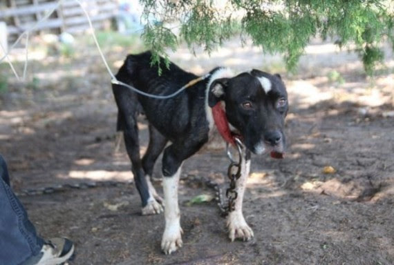 The SPCA of Texas sent rescuers to a suspected dog-fighting ring in  Able Springs, Texas. Rescuer Madeline Yeaman approached the scene, and the dogs were jumping with excitement at the sight of her. Except for one dog...