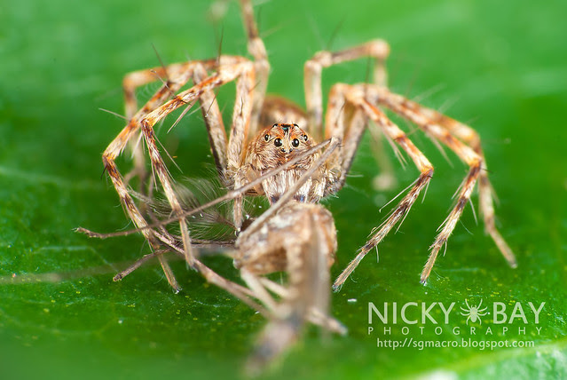 Lynx Spider (Oxyopidae) - DSC_4548