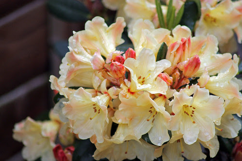 Rhododendron Nancy Evans by TonyKRO
