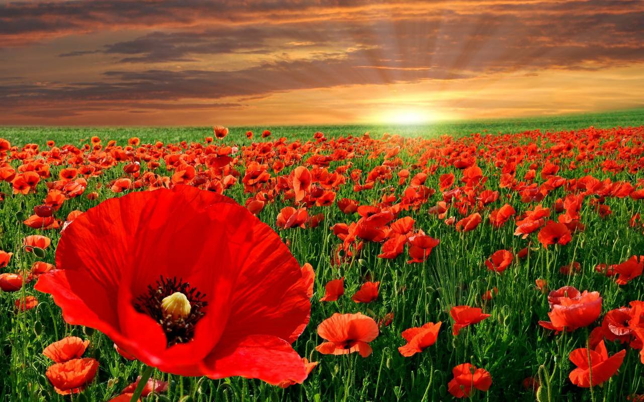 Image result for images of poppies