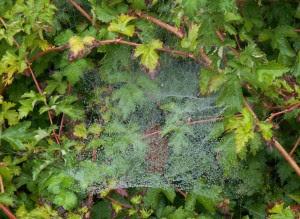 Spindelsnät