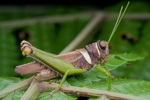 Grasshopper IMG_5043 copy